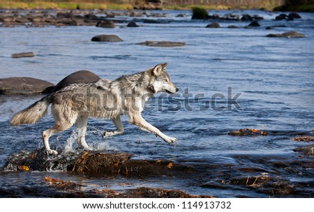 wolf running across rocks in a river, pursuing prey .  Autumn in Minnesota - stock photo