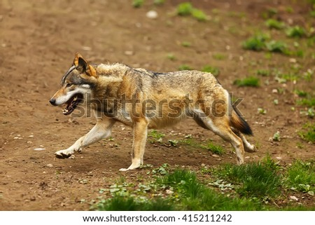 wolf running around