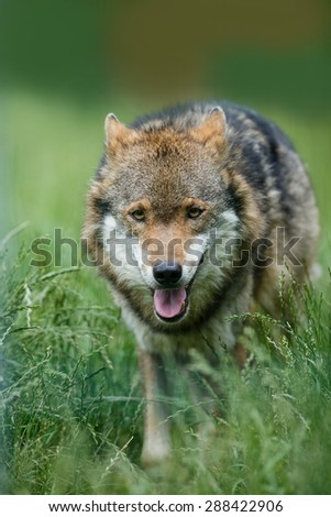 wolf running in the grass - stock photo