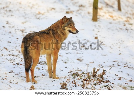 wolf snowy scenery - stock photo