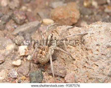 wolf spider - stock photo