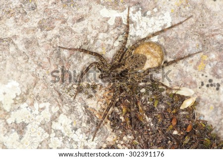Wolf spider - female with an egg sac