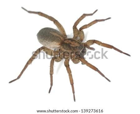 Wolf spider, lycocidae isolated on white background, macro photo - stock photo
