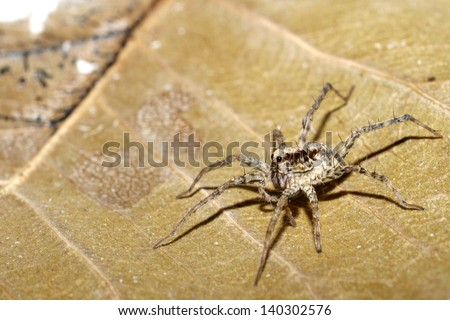 Wolf spider on dry leaf - stock photo