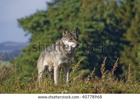 Wolf standing on hill - stock photo