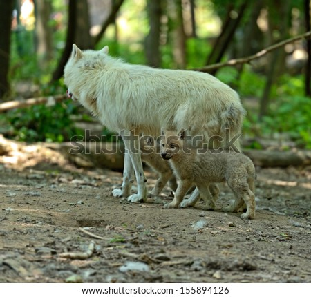 Wolf with cubs in the forest - stock photo