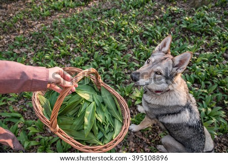 Wolfdog patiently waiting when harvesting herbs