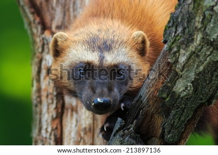 wolverine in detail - stock photo