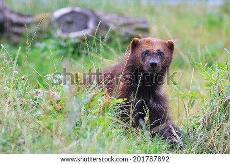 wolverine in the grass - stock photo
