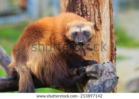 wolverine on the tree - stock photo