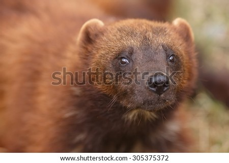wolverine very close up - stock photo