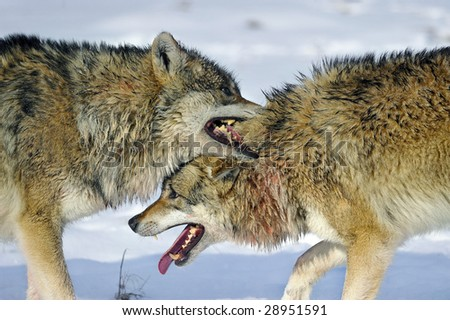 wolves battle - stock photo
