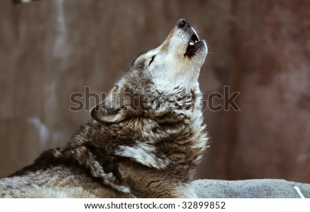 Wolves howl in Moscow Zoo - stock photo