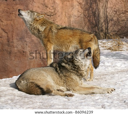 Wolves.  Spring Song - stock photo