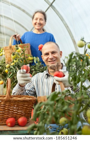 Woman and man picking tomatoes in greenhouse