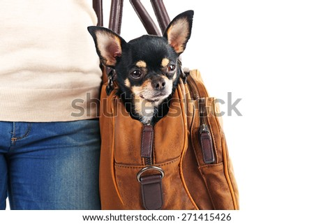 Woman carrying cute chihuahua puppy in her bag isolated on white - stock photo