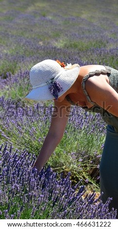 Woman collects lavender