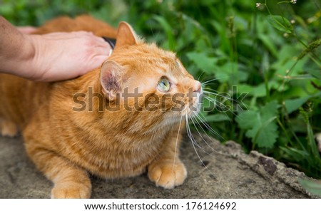 Woman combing a red cat outdoor. Selective focus.  - stock photo
