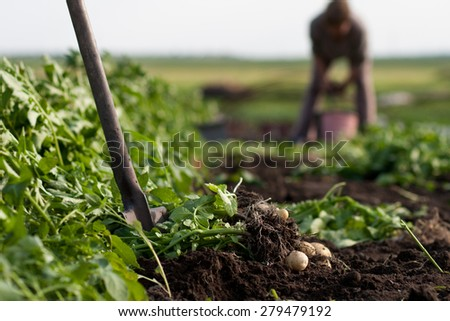 woman digging up potatoes on a garden, spade in focus - stock photo