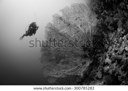 Woman diver approaches fan coral on the reef at Elphinstone, Red Sea, Egypt - stock photo