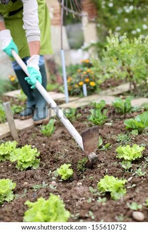 Woman gardening lettuce in kitchen garden - stock photo