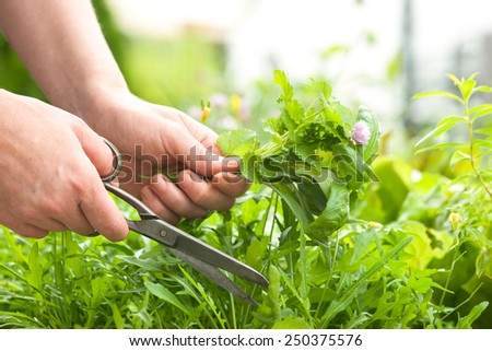Woman gathers fresh herbs in the garden - stock photo