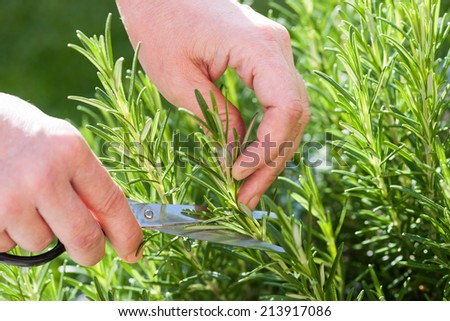 Woman gathers fresh rosemary herb in the garden - stock photo