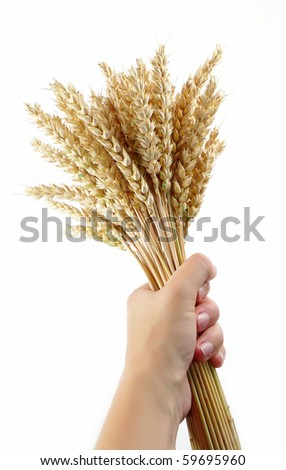 woman hand hold wheat ears isolated on the white background - stock photo