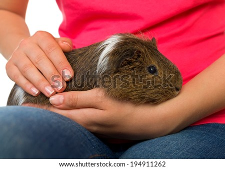 Woman hand holding a beautiful guinea pig - stock photo