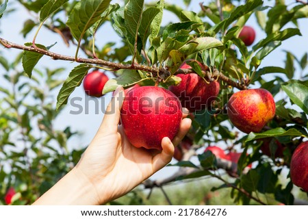 woman hand picking an apple - stock photo