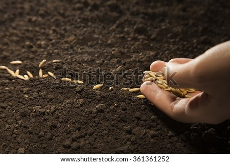 woman hand sowing weat seed - stock photo