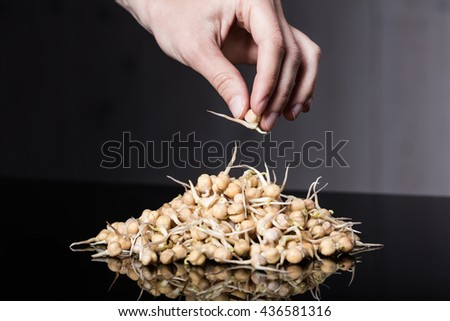 Woman hand taking seedling from a pile of sprouted chickpeas - stock photo