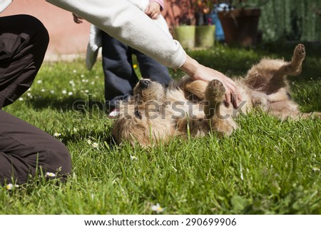 woman hand touching and petting a brown terrier breed dog belly lying on his back over green grass lawn