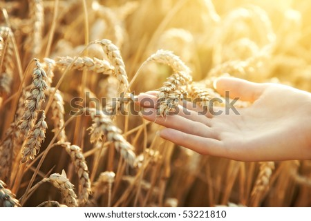 Woman hand with ear of wheat. Sunset light. - stock photo