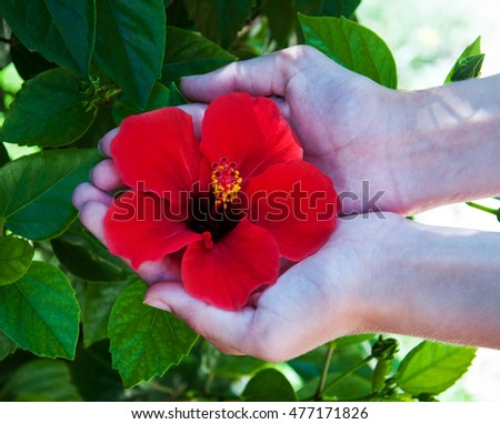 Woman hands  with beautiful red hibiscus flower