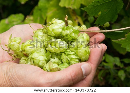 Woman holding hop in her hands - stock photo
