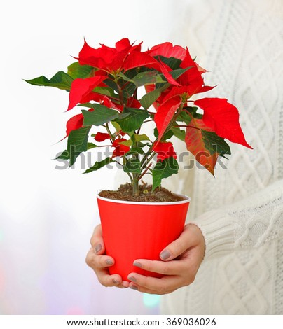 Woman holding pot with Christmas flower poinsettia, on light background - stock photo