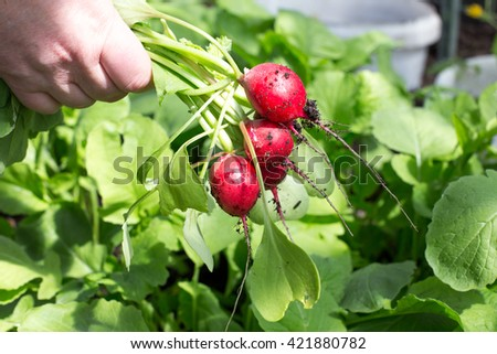 Woman holds bunch of radish in hand