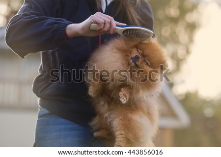 Woman holds puppy in her arms. Combing fur of Pomeranian spitz. Care for dog hair.  - stock photo
