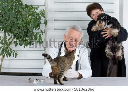 Woman is holding miniature schnauzer for examination while veterinarian checking tabby cat - stock photo