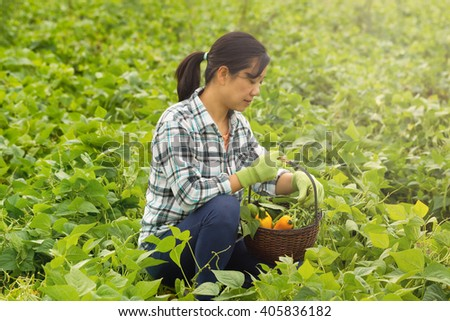 Woman, looking away from camera, in field harvesting green beans and zucchini during bright day. Added light haze effects. - stock photo