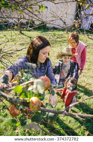 Woman picking apples from tree in a harvest - stock photo