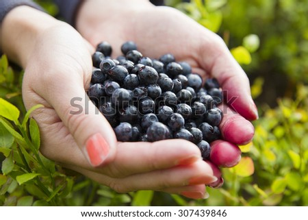Woman picking healthy blueberries in the woods - stock photo
