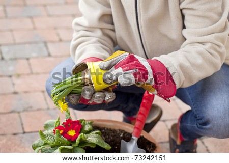 woman planting yellow deffodils in a terracotta  flowerpot. - stock photo
