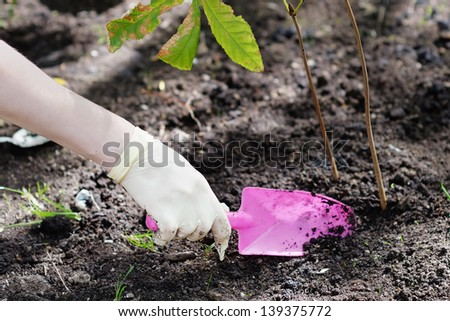 Woman planting young seedling (chestnut) - stock photo