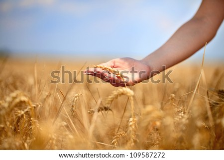 Woman running her hand through some wheat in a field