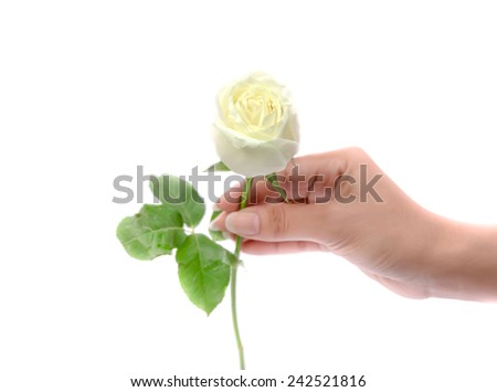 Woman's hand holding a white rose. - stock photo