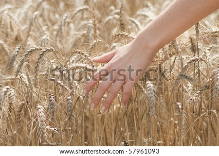 Woman`s hand over wheat field - stock photo