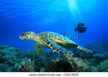 Woman Scuba Diver takes a photograph of a Hawksbill Turtle - stock photo