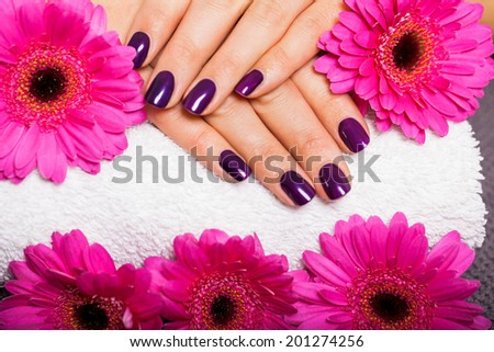 Woman with beautiful manicured nails covered with modern purple nail varnish, enamel or lacquer displaying her fingers alongside a pink gerbera daisy - stock photo